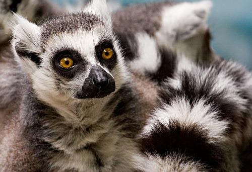 Lemurs09