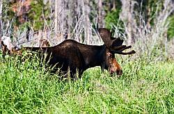 Moose in RMNP